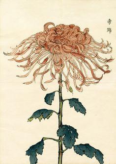 Хризантема Кику. Keika Hasegawa Chrysanthemum Wood Block Prints 1st Edition 1893