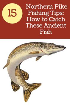 Northern Pike Fishing Tips: How to Catch and Cook Pike-Northern Pike Fishing Tips: How to Catch and Cook Pike These fish can be found in most bodies of water in the northern United States and fight a lot harder than largemouth bass! In this article, I am Pike Fishing Tips, Pike Fishing Lures, Crappie Fishing Tips, Kayak Fishing, Fishing Stuff, Ice Fishing, Fishing Trips, Fishing Gifts, Going Fishing