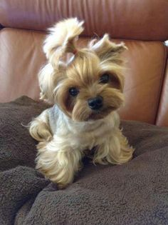 Yorkie puppy with a schnauzer style cut (body) and cute mop of hair on head!