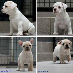 Jual Anjing French Bulldog - Iklan Anjing Dijual - AnjingDijual.BIZ (AnDiZ)  http://anjingdijual.biz/wmview.php?ArtID=134