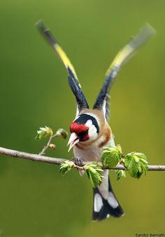 Goldfinch By: Sandor Bernath Beautiful Sunset, Beautiful Birds, Animals Beautiful, Bird Wall Art, Bird Artwork, Nature Animals, Animals And Pets, Bee Hummingbird, Goldfinch