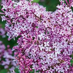 Josee Reblooming Lilac Pot Just Tall This Fragrant Lavender Pink Dwarf Is Perfect For Borders Or As A Specimen Plant