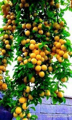 Yellow plum of Waziristan Fruit Plants, Fruit Garden, Edible Garden, Fruit Trees, Fruit And Veg, Fruits And Vegetables, Fresh Fruit, Exotic Fruit, Tropical Fruits