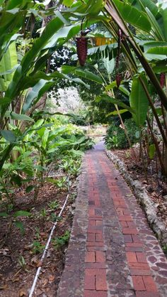 Andromeda Botanic Gardens in St. Joseph,  Barbados. Many varieties,  excellent plant identification combined with laminated sheets formated to link to numbered or alpha signs. Very well done. Sue loved their Ginger lemonade.