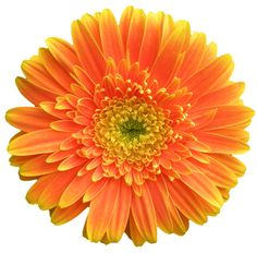 transparent-flowers:  African Daisy. Gerbera jamesonii.(x).