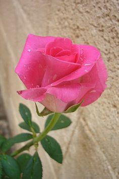 Rosa / Rose                                                                                                                                                                                 More