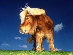 Shetland pony =  thekarenhawkins