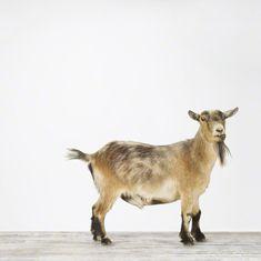 Pygmy Goat - awesome website of animal pictures The Animal Print Shop by Sharon Montrose