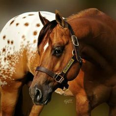 I love spotted horses Horses And Dogs, Wild Horses, Horse Photos, Horse Pictures, Most Beautiful Animals, Beautiful Horses, Clydesdale, Zebras, Spotted Horse Breed