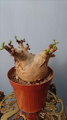 Cyphostemma uter macropus angola