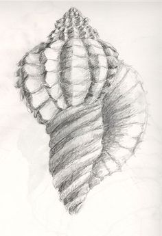 Beginning Drawing: Value and Shading / Heilstedt_shell_shading2.jpg