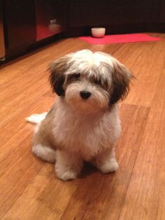Havanese cut to show groomer