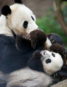 """""""Bai Yun with her silly cub Mr. Wu"""""""