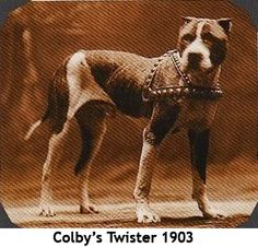 American Pit Bull Terrier - my brindle pittie's heritage can be traced back to Sir Colby!