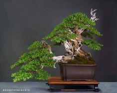 Bonsai Plants, Bonsai Garden, Cactus Plants, Bonsai Trees, Ikebana, Mini Bonsai, Small Trees, Green Plants, Tree Art
