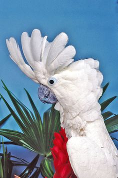 Umbrella Cockatoo.  Reading Your Parrot's Body Language - For Dummies