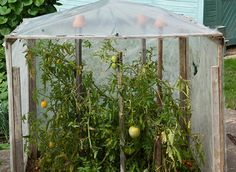 Pas à pas pour la construction d'une serre ou abri pour les tomates.