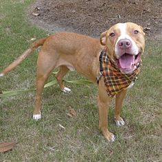 Helena, Alabama - Pit Bull Terrier. Meet Guinness, a for adoption. https://www.adoptapet.com/pet/20965645-helena-alabama-pit-bull-terrier-mix