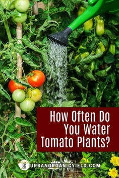 How much water does a tomato plant need to grow well? How do you know when to water your garden tomatoes? Learn more and get a guide on when and how you should water your tomatoes that are growing in containers or just in your backyard garden. #GrowTomatoes #Gardening #WaterYourTomatoes #VegetableGardening #UrbanOrganicYield Watering Tomatoes, Garden Tomatoes, Tomato Garden, Tomato Plants, Growing Tomatoes, Home Grown Vegetables, Types Of Vegetables, Different Vegetables, Planting Vegetables
