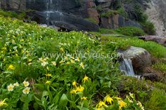 Glacier lily and Globeflower bloom in a meadow on a July morning in the Rocky Mountains of Colorado.  A stream with small waterfalls flows beside it.  Nature photograph, Wild Basin section of Rocky Mountain National Park.  Wildflowers / flowers.