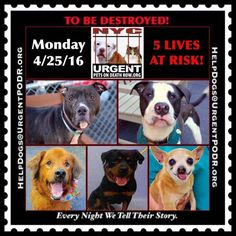 """5 BEAUTIFUL LIVES TO BE DESTROYED 04/25/16 - -This is a HIGH KILL """"CARE CENTER"""" . Too many great dogs put down daily! Babies, puppies, mamas, healthy, friendly dogs. POOR LIVING CONDITIONS & MINIMAL CARE - - Please Share: - Click for info & Current Status: http://nycdogs.urgentpodr.org/to-be-destroyed-4915/"""