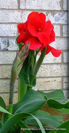 Foto de las flores de una variedad de la canna generalis - Caesalpinia gilliesii cultivo ...
