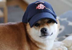Shiba inu - one breed I would consider owning