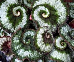 Known for great color on its foliage, the Rex Begonia is a very unique looking plant.  Rex begonias like even water, but hate being over watered.  They are a great plant for humid areas (they thrive in humidity), but don't like direct misting.