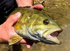 A Smallmouth I caught fishing a small creek Fishing Pictures, Rod And Reel, Bass Fishing, Instagram, Fishing