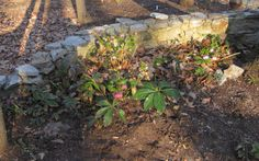Hellebores by top of drive.