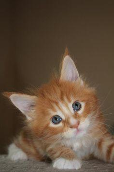 Some day I'll get my orange kitten (again)