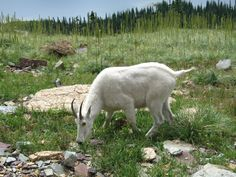 MOUNTAIN GOATS at Glacier National Park,  munch on grasses, herbs, shrubs, ferns,mosses and lichen.