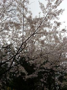 하트모양 왕벚꽃