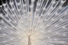 横浜市立野毛山動物園(Nogeyama Zoo)で飾り羽を広げる繁殖シーズンを迎えた雄のインドクジャク(2014年5月25日撮影)。(c)AFP/YOSHIKAZU TSUNO ▼25May2014AFP|飾り羽を広げる野毛山動物園のインドクジャク、横浜 http://www.afpbb.com/articles/-/3015855 #Nogeyama_Zoo #Indian_peafowl #blue_peafowl #Pavo_cristatus #Paon_bleu #Blauer_Pfau #Merak_biru #Paw_indyjski #Hint_tavuskusu