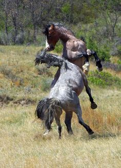 Wild Horses fighting at Theodore Roosevelt Park