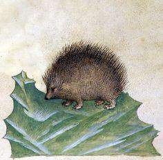 hedgehog - Historia Plantarum, Lombardy ca. 1395-1400 (Roma, Biblioteca Casanatense, Ms. 459, fol. 97r)