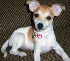 teacup rat terrier 1000 images about miniature rat terriers on pinterest 6058