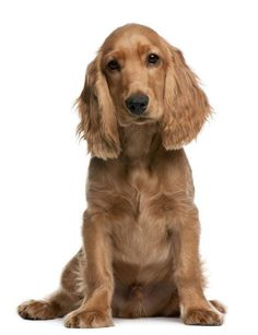 Photo about English Cocker Spaniel puppy, 5 months old, sitting in front of white background. Image of canine, brown, indoors - 23088270 Perro Cocker Spaniel, English Cocker Spaniel Puppies, Black Cocker Spaniel, House Breaking A Puppy, Female Dog Names, Cockerspaniel, Love Dogs, Mundo Animal, King Charles Spaniel