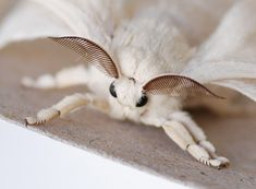 I will squeal from the cuteness. Beautiful Bugs, Beautiful Butterflies, Venezuelan Poodle Moth, Silkworm Moth, Cute Moth, Mantis Religiosa, Baby Animals, Cute Animals, Cool Bugs