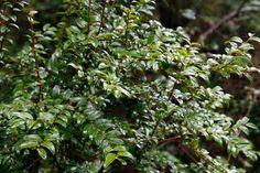 Evergreen huckleberry, Vaccinium ovatum Evergreen screen along Front N PL Front Yard Plants, Backyard Plants, Plum Garden, Herbaceous Border, Ornamental Plants, Evergreen, Shrubs, Flora