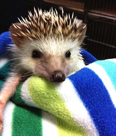 Hedge hog very cute