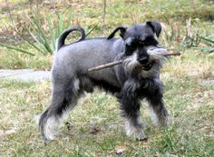 spring is comming - schnauzer feels it
