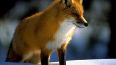 Red fox hd wallpaper - (#47029) - HD Wallpapers - Animals HQ Wallpapers on wideHdwalls.com