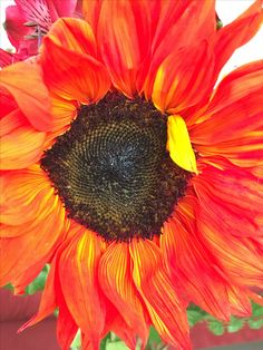 Red sunflower. Pic taken by sharonlgrace