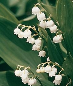 Lily of the Valley. The best smelling flowers.