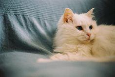 cat, kedi