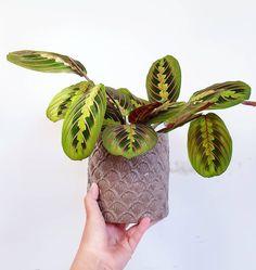 Maranta Leuconeura #houseplants