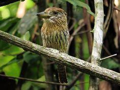 Foto rapazinho-estriado-do-oeste (Nystalus obamai) por Tomaz Melo | Wiki Aves - A Enciclopédia das Aves do Brasil