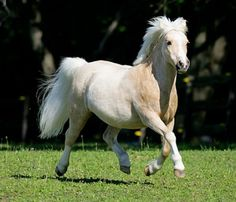 Welsh Pony ~ Beautiful Horses