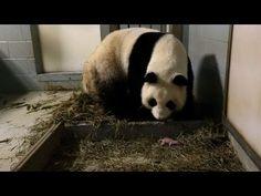 Panda gigante dá luz a gêmeos